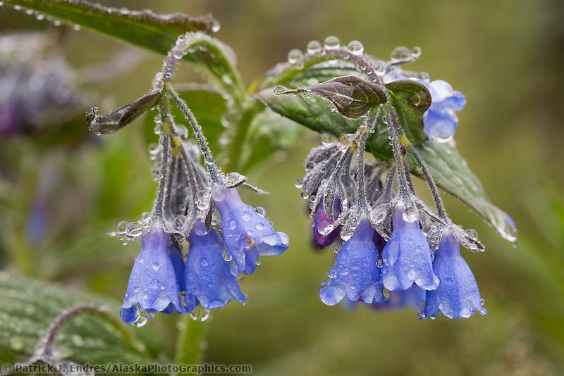 Bluebells wildflowers, Denali National Park, Alaska.