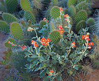 Grand County, UT <br /> Small-leaf Globemallow (Sphaeralcea parvifolia) snuggled against a pricklypear cactus (Opuntia polyacantha) near the Colorado River