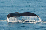 As humpback whale dives water cascades off its flukes, Santa Cruz Island, CA