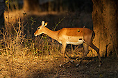 Female Impala making her way through the Acacia Albida trees on her way to water, dappled in late afternoon sunlight.