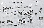 .Ducks come in from a landing on a popular duck gathering area on Sammish Island Bay. Jim Bryant Photo. ©2012. All Rights Reserved.