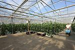 Foto: VidiPhoto<br /> <br /> LOO - Tuinder Frank Wilting uit Loo bij Arnhem aan het werk in zijn tuinderij met vergeten groenten, komkommers en frambozen. De vierde generatie tuinder verhandelt zijn producten via de &quot;korte lijnen&quot; van veiling Zaltbommel, bestemd voor met name de gespecialiseerde groentezaken.