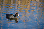 Columbia Ranch, Brazoria County, Damon, Texas; an American Coot (Fulica americana) bird creating ripples on the water's surface of the slough in afternoon sunlight