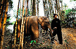 A mahout with this young Asian elephant (elephas maximus)during the Elephant Asia festival in Hongsa, Laos.