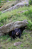 An Adult black Bear resting in a grotto.
