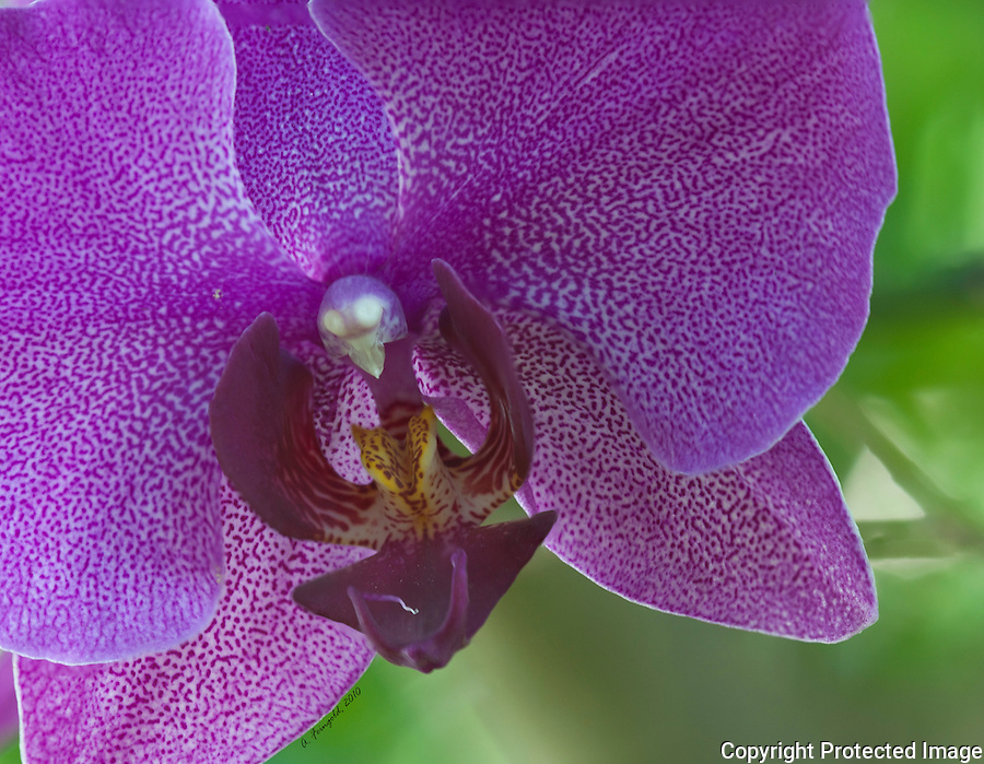 Orchid Flower, Purple Orchid, Macro Photography, Stacked Photography, Miami nature, Tropical Flower, <br />