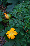 a pumpkin plant in the vegetable garden
