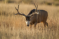 Trophy Colorado mule deer buck