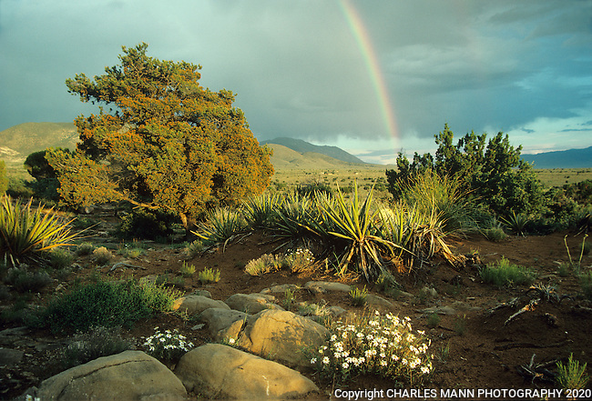A rainbbow inthe desert lends a bit of drama to the white spring time blooms of some Blackfoot Dasies in a scen near Carrizzozo, New Mexico.