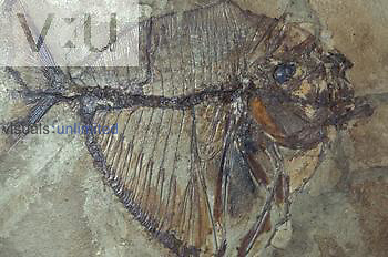 Fish fossil forty million years ago during the late Eocene period. (Mene rhombeus) Monte Boica, Italy