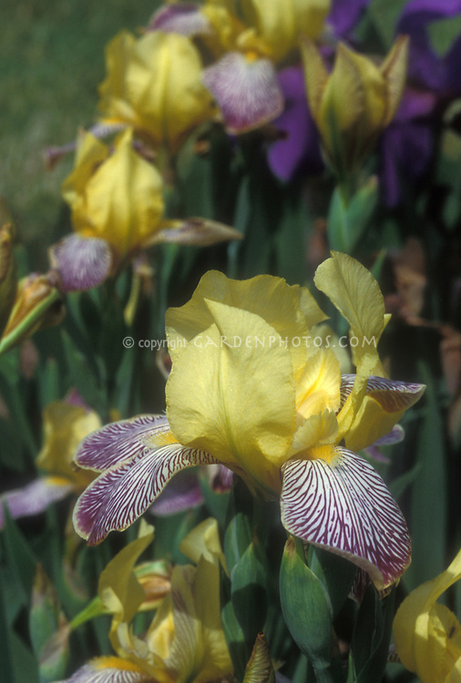 how to get rid of yellow flag iris
