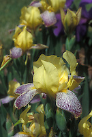 Irises Gracchus, heirloom variety with yellow standards, yellow gold beard, white falls with purple stripes veins, in bloom in late spring May June