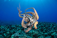 Female Day Octopus (Octopus cyanea), Pacific Ocean, Maui, Hawaii.