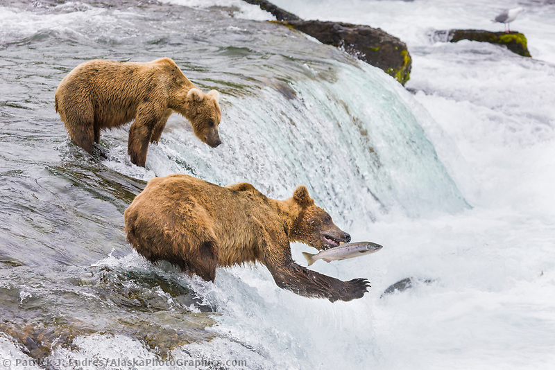 Brown bear fish for red salmon at the falls of Brooks river, Katmai National Park, southwest, Alaska.