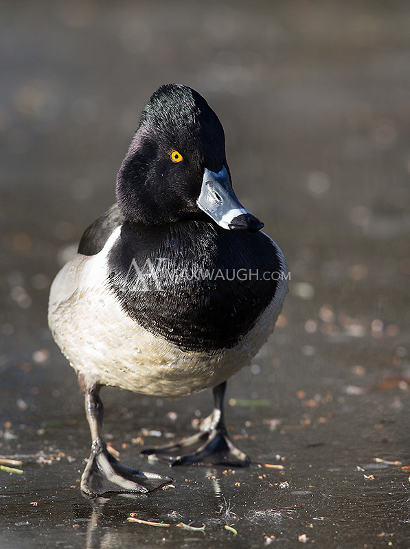 The Ring-necked duck is another handsome winter resident of the Pacific Northwest.