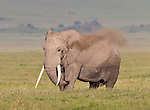 African elephant (Loxodonta africana) dusting in the Ngorongoro Crater, Tanzania