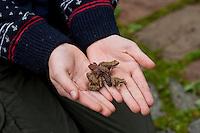 Junge Grasfrösche, Gras-Frösche in Kinderhand, Mädchen, Kind mit aus dem Laichgewässer gewanderten Jungfröschen, im Herbst auf der Wanderung in die Winterquartiere, Massenwanderung, Froschregen, Grasfrosch, Frosch, Rana temporaria, Commen Frog, Grass Frog, Grenouille rousse, gemeinsam mit Erdkröte, Kröte, Bufo bufo, European common toad