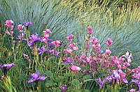Sidalcea malviflora, Checkerbloom, with Douglas Iris and Festuca 'Siskiyou Blue'