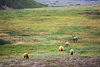 Grizzly bear sow and yearling cubs approach bull caribou, Denali National Park, Alaska