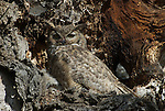 Great horned owl with chicks in nest in oak tree