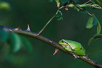 Common Tree Frog, Hyla arborea, adult resting in wild rose bush, National Park Lake Neusiedl, Burgenland, Austria, Europe