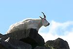 mountain goat on rocks