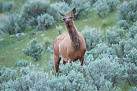 A  female elk approaches  to investigate the intruder in her territory.In Spring or early Summer, this bold behavior may indicate that she has a newborn calf hidden nearby.