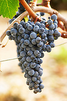 Bunches of ripe grapes. Chateau Malartic Lagraviere, Pessac Leognan, Graves, Bordeaux, France