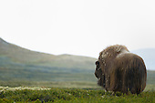 Musk Ox dominant bull (Ovibos moschatus), Dovrefjell National Park, Norway