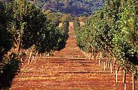Rows of macadamia nut trees in Hawaii