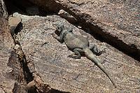 414050001 a wild chuckwalla sauromalus obesus basks on a volcanic rock near eureka dunes california