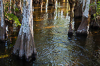 Flooded ground and cypress trees in a cypress hammock near Pa-hay-okee Overlook in Everglades National Park, Florida.