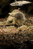 Porcupine (Erethizon dorsatum) photographed by a camera trap.