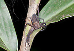 Huntsman spider, Sparassidae, formerly Heteropodidae, Nr Mantadia National Park, Andasibe, Madagascar, on shrub at night