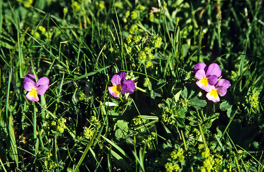 Viola calcarata, long-spurred pansy, Vercors, France