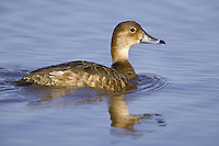 Female Redhead Duck swimming on a lake