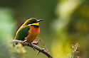 Cinnamon-chested Bee-eater (Merops oreobates), Virunga, Rwanda