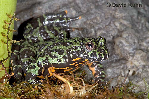 1216-07mm  Oriental Fire Bellied Toad - Bombina orientalis - © David Kuhn/Dwight Kuhn Photography.