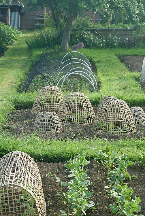 Bamboo cloches over young plants, early June.