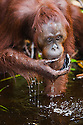 Female orangutan drinking water from Camp Leakey River, (Pongo pygmaeus), endangered species due to loss of habitat, spread of oil palm plantations, Tanjung Puting National Park, Borneo, East Kalimantan,