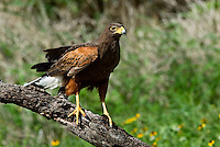 Harris's Hawk