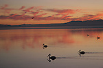 White pelicans at the Salton Sea at sunset