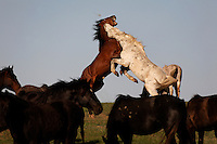 Going for the throat, an old stallion from the White Sands herd defends his mares.  <br /> <br /> Studs fight for dominance in the herd.  These horses came from the missile range in Utah., and have a rare gaited gene. <br /> <br /> Karen Sussman with International Society for the Protection of Mustangs and Burros saved the herd.  Wild Horse Annie started when lobbying congress in the '70s to save mustangs and burros.