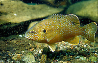 Green Sunfish, Underwater