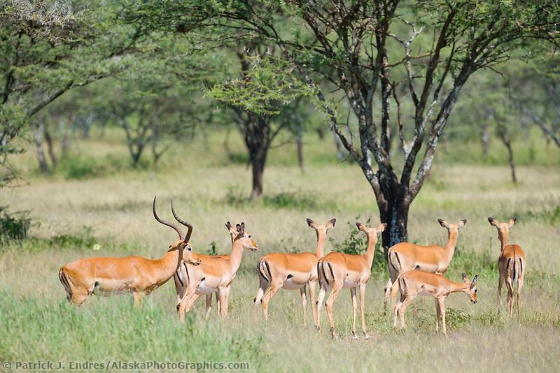 Impala, Serengeti National Park, Tanzania, East Africa