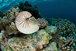 Chambered nautilus in coral reef - nautilus pompilius