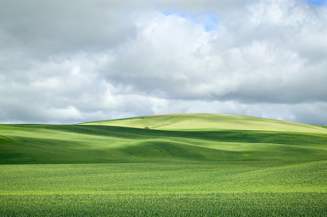 Storm Clouds and Sunlight Over Spring Wheat Fields, The Palouse, Washington State
