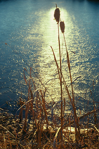 Cattails lean together in late afternoon light near cold midwest pond
