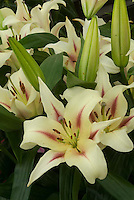 Lilium 'Nymph' (OT) oriental trumpet lily hybrid