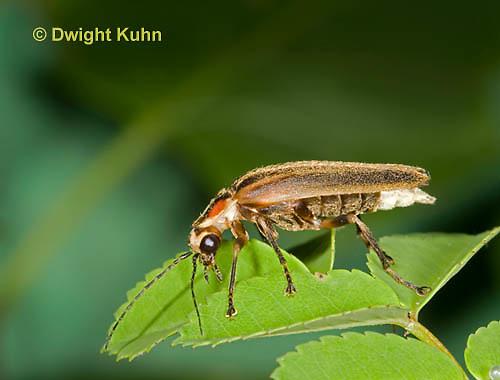 1C24-558z   Firefly Adult - Lightning Bug - Photuris spp.